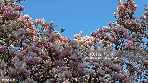 Low Angle View Of Blooming Tree Against Clear Sky