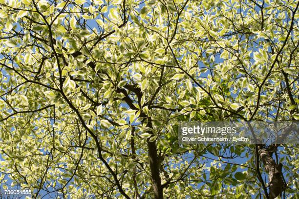 low angle view of blooming tree - olivier schittenhelm photos et images de collection