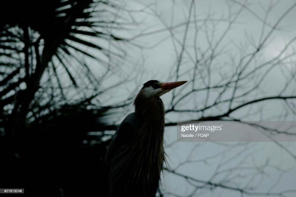 Low angle view of blue heron : Stock Photo