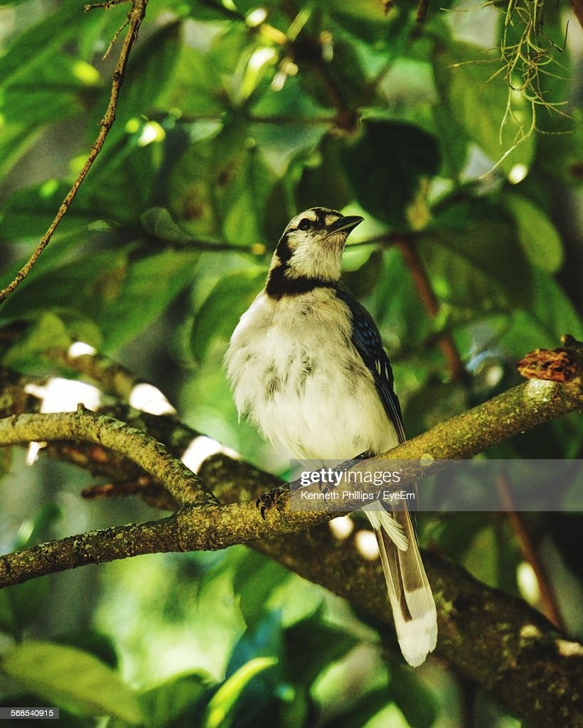 Low Angle View Of Blue Jay Perching On Tree : Stock Photo