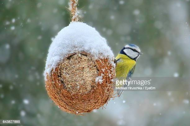 Low Angle View Of Blue Tit On Snow Covered Nest