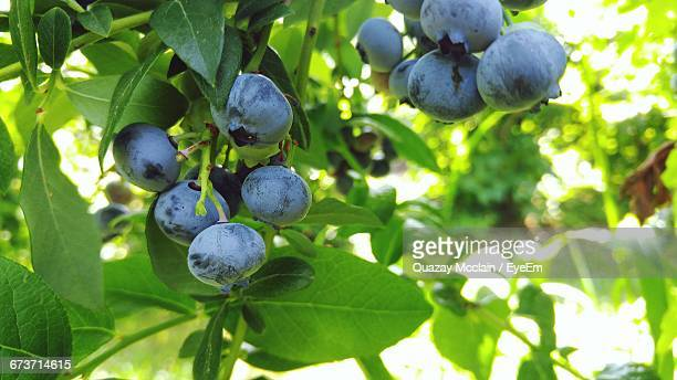 blueberry tree stock photos and pictures | getty images