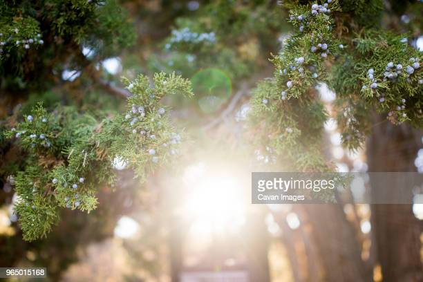 low angle view of blueberries growing on trees during sunny day - big bear lake stock photos and pictures