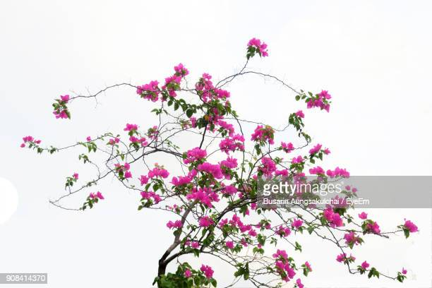 Low Angle View Of Bougainvillea Blooming Tree Against Sky