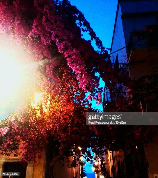 Low Angle View Of Bougainvillea Flowers Hanging On House