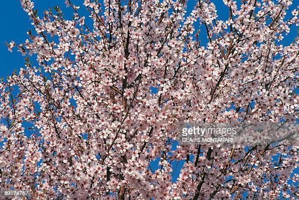 Low angle view of branches of an Almond tree in blossom
