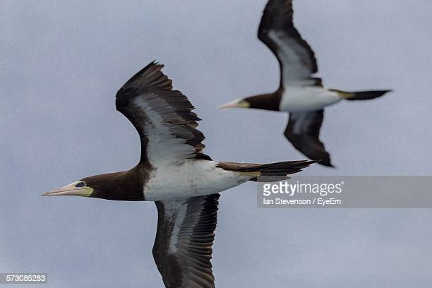 low angle view of brown boobies against clear sky - brown booby stock pictures, royalty-free photos & images