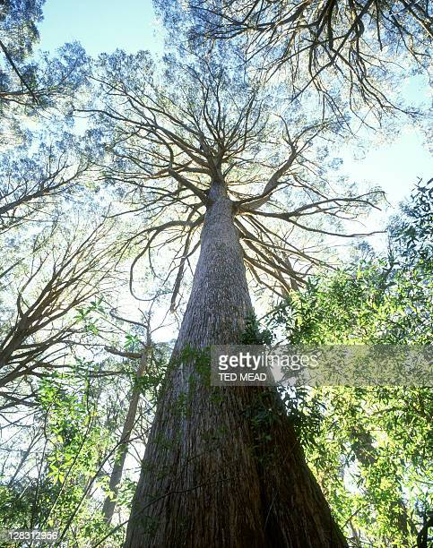 low angle view of brown-topped stringybark tree, errinundra n.p, victoria - low angle view photos et images de collection