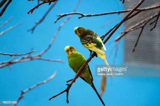 Low Angle View Of Budgerigars Perching On Branch Against Clear Blue Sky