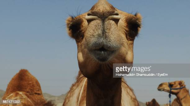 Low Angle View Of Camel Against Clear Sky