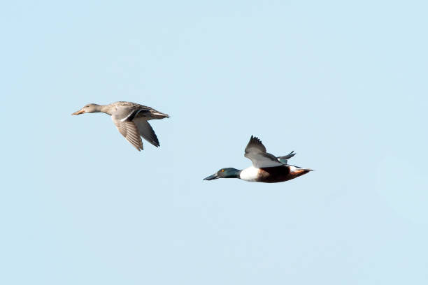 Low angle view of canada geese flying against clear sky,Long Point,Canada