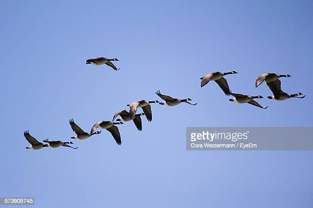 low angle view of canada goose flying against clear blue sky - kanadagans stock-fotos und bilder