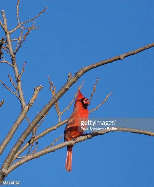 low angle view of cardinal perching on bare tree against blue sky - blue cardinal bird stock pictures, royalty-free photos & images