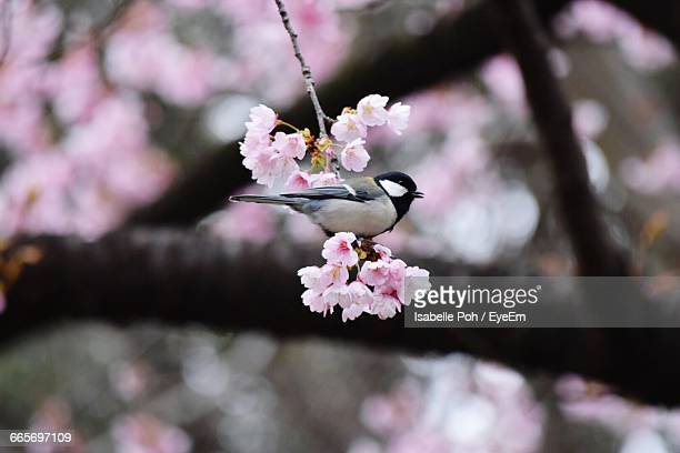 low angle view of carolina chickadee perching on cherry blossoms - carolina cherry photos et images de collection