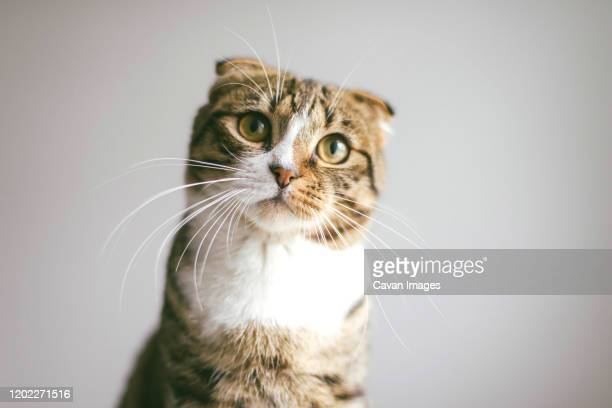low angle view of cat looking at camera, on white background - gatto soriano foto e immagini stock