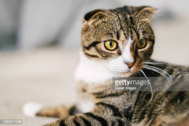 1 700 Domestic Shorthair Tabby Photos And Premium High Res Pictures Getty Images
