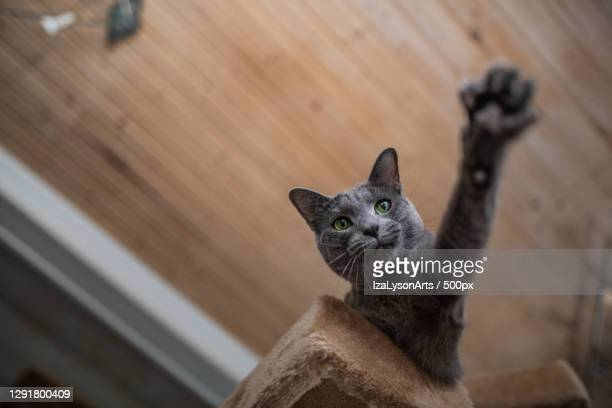 low angle view of cat reaching from atop cat tree,hakadal,norway - images stock pictures, royalty-free photos & images