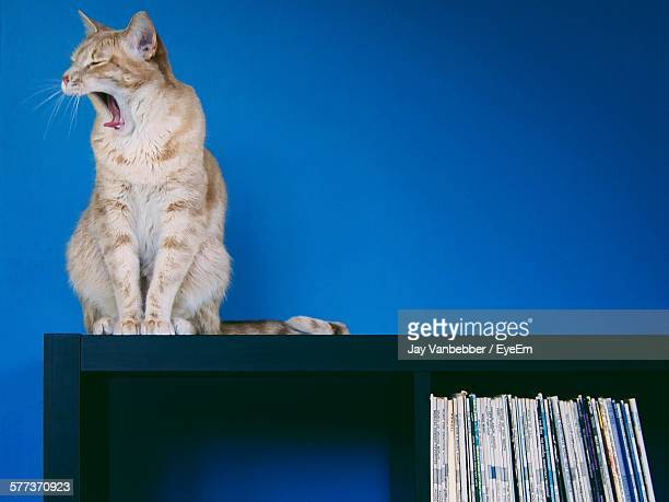 Low Angle View Of Cat With Open Mouth Sitting On Bookshelf Against Blue Wall
