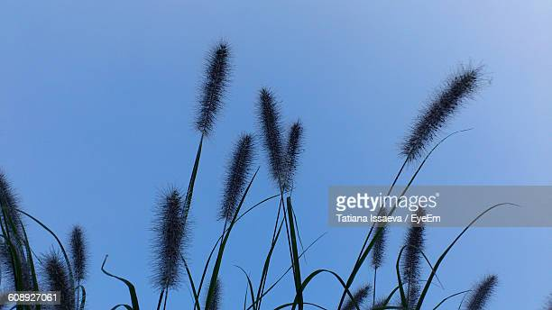 Low Angle View Of Cattails Growing Against Sky