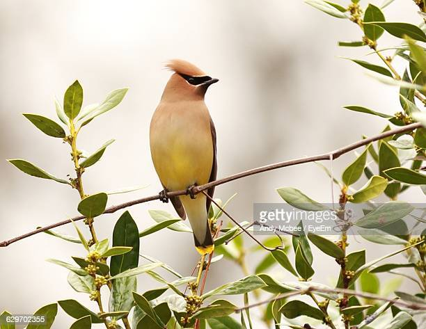 Low Angle View Of Cedar Waxwing Perching On Tree