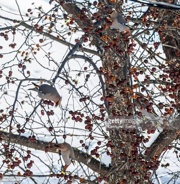 Low Angle View Of Cedar Waxwings Perching On Tree Against Sky