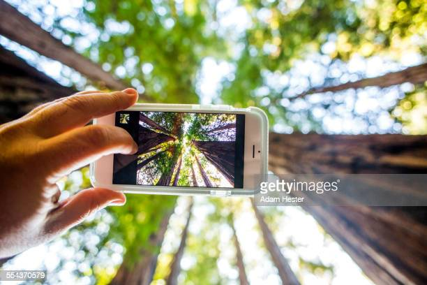 low angle view of cell phone taking photograph of trees in forest - muir woods stock photos and pictures