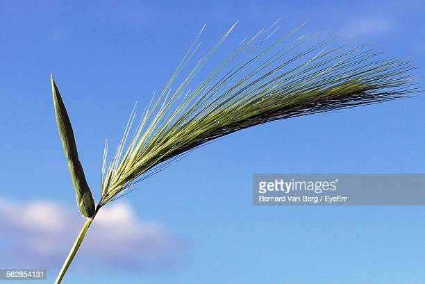 Low Angle View Of Cereal Plant Against Cloudy Sky