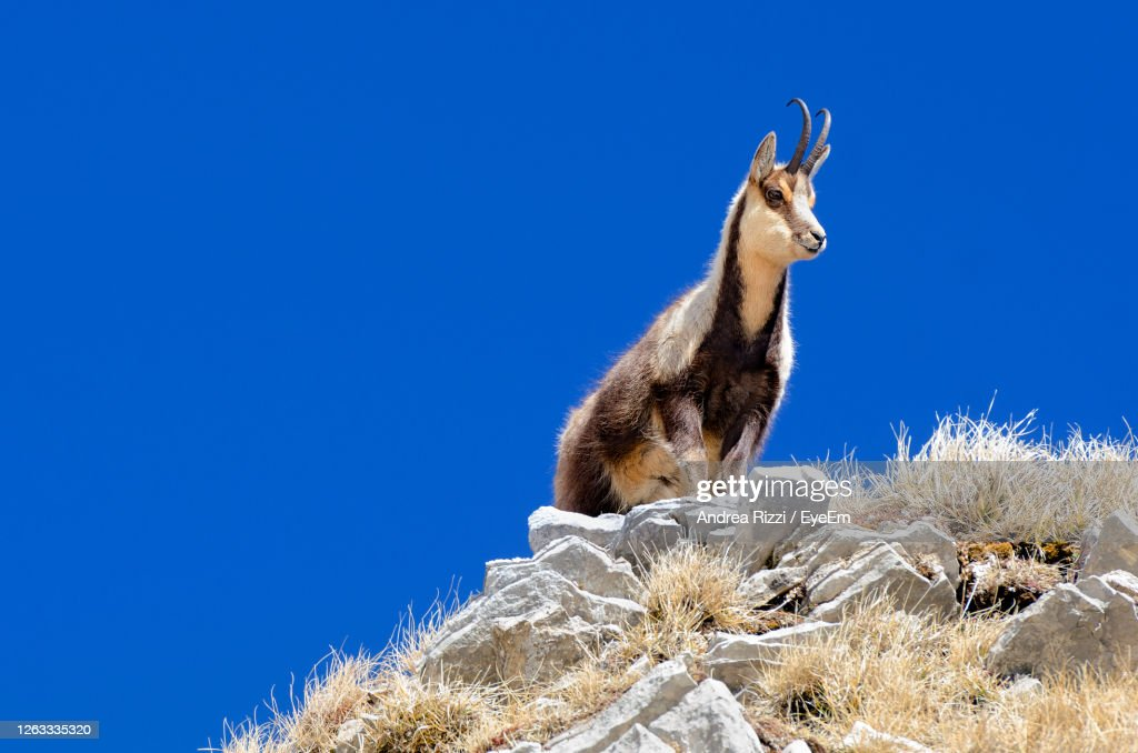 Low Angle View Of Chamois On Rock Against Blue Sky : Foto stock