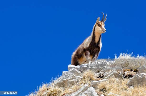 low angle view of chamois on rock against blue sky - andrea rizzi stockfoto's en -beelden