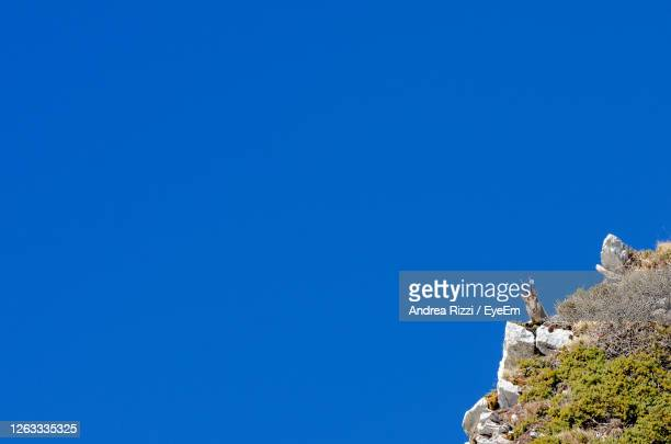 low angle view of chamois on rock against clear blue sky - andrea rizzi stock pictures, royalty-free photos & images