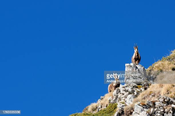 low angle view of chamois on rock against clear blue sky - andrea rizzi foto e immagini stock