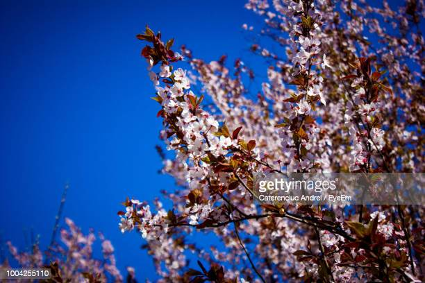 Low Angle View Of Cherry Blossom Against Blue Sky