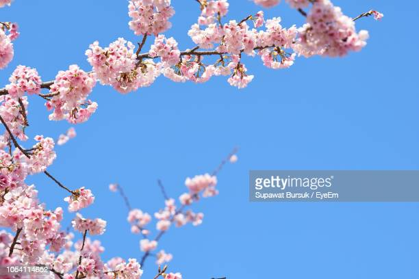 low angle view of cherry blossom against blue sky - kirschblüte stock-fotos und bilder