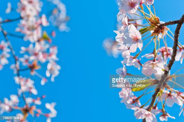 low angle view of cherry blossom against blue sky - cherry kiss photos et images de collection