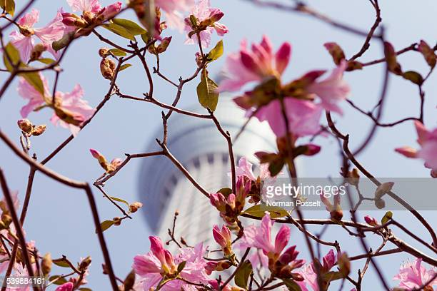 Low angle view of cherry blossom branches against Tokyo Skytree
