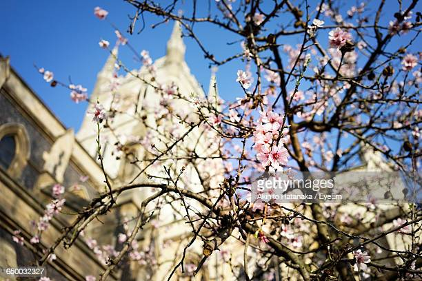 Low Angle View Of Cherry Blossom Tree Against Church