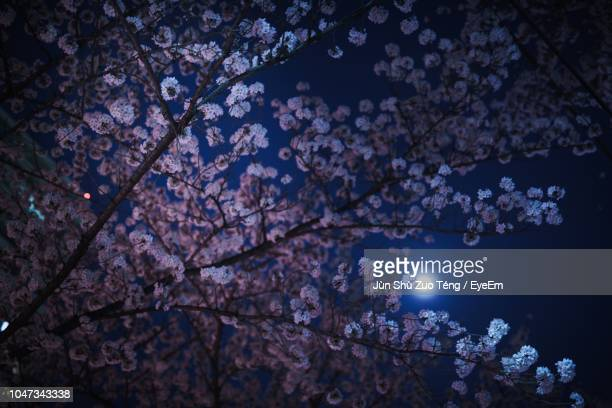 low angle view of cherry blossom tree at night - flower moon stock pictures, royalty-free photos & images