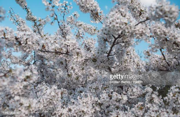low angle view of cherry blossom tree - bortes stock pictures, royalty-free photos & images