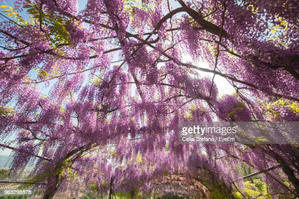 low angle view of cherry blossom tree - glycine photos et images de collection