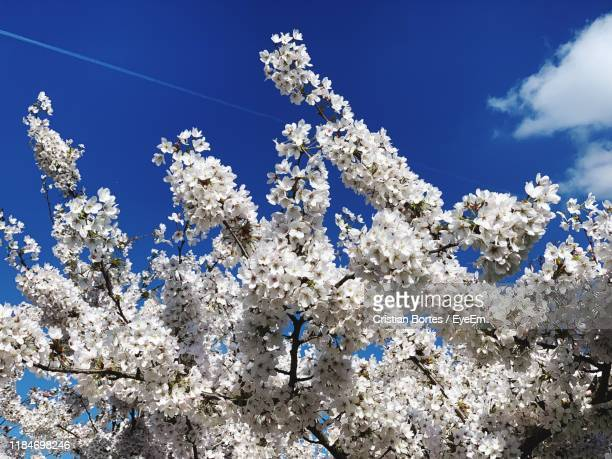 low angle view of cherry blossoms against blue sky - cherry blossom stock pictures, royalty-free photos & images
