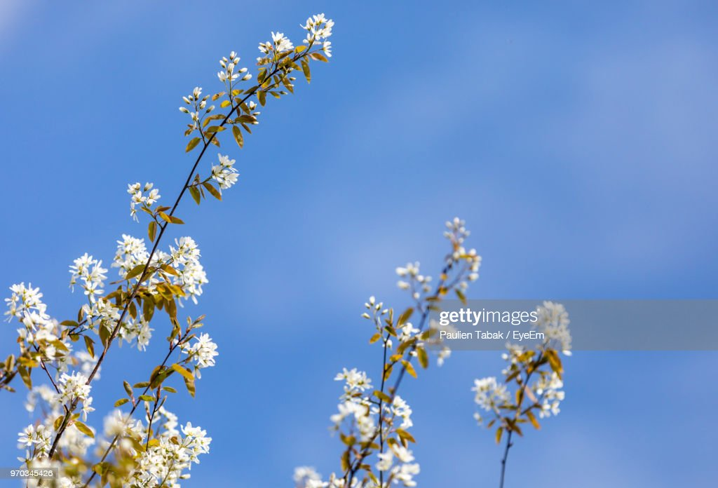 Low Angle View Of Cherry Blossoms Against Blue Sky : Stockfoto