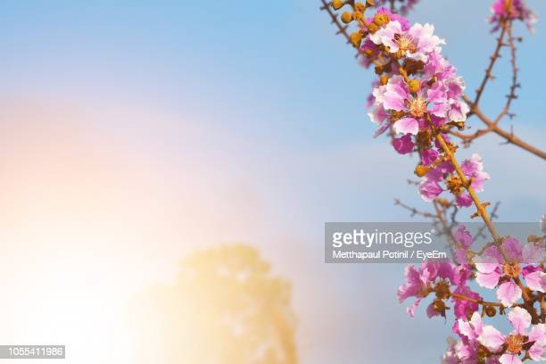 low angle view of cherry blossoms against sky - metthapaul stock photos and pictures