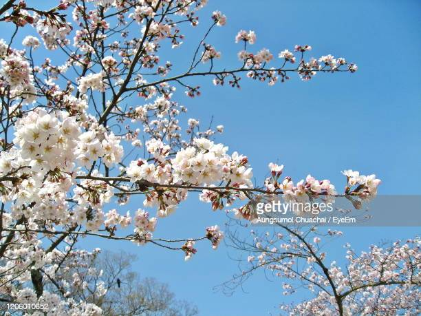 low angle view of cherry blossoms against sky. - aungsumol stock pictures, royalty-free photos & images