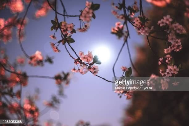 low angle view of cherry blossoms against sky - flower moon stock pictures, royalty-free photos & images