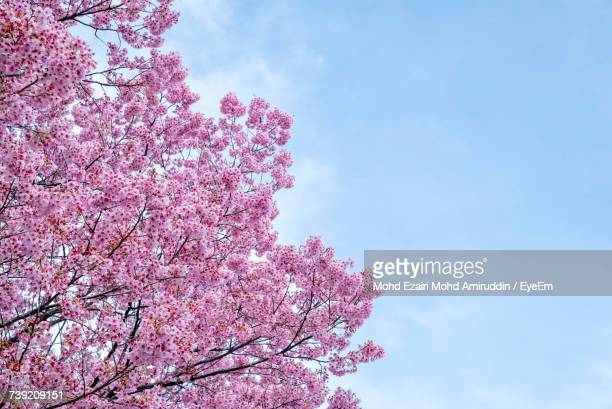 low angle view of cherry blossoms against sky - cherry blossom in full bloom in tokyo stock pictures, royalty-free photos & images