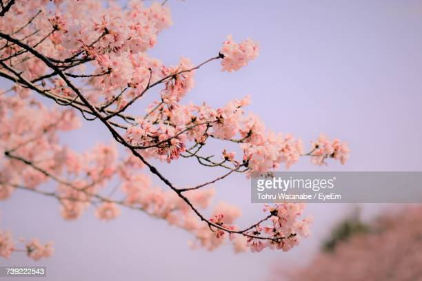 low angle view of cherry blossoms against sky - gunma prefecture stock photos and pictures