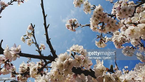 low angle view of cherry blossoms against sky - matsuyama ehime stock pictures, royalty-free photos & images