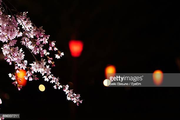 Low Angle View Of Cherry Blossoms At Night