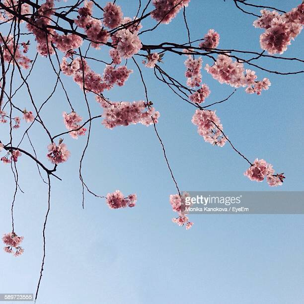 Low Angle View Of Cherry Blossoms Blooming Against Clear Sky