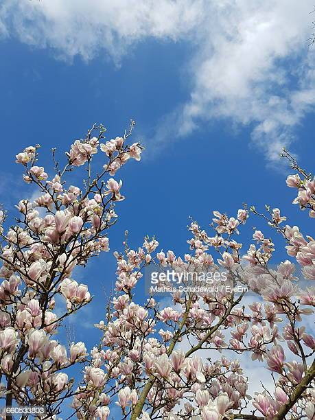 Low Angle View Of Cherry Blossoms Blooming On Tree Against Sky